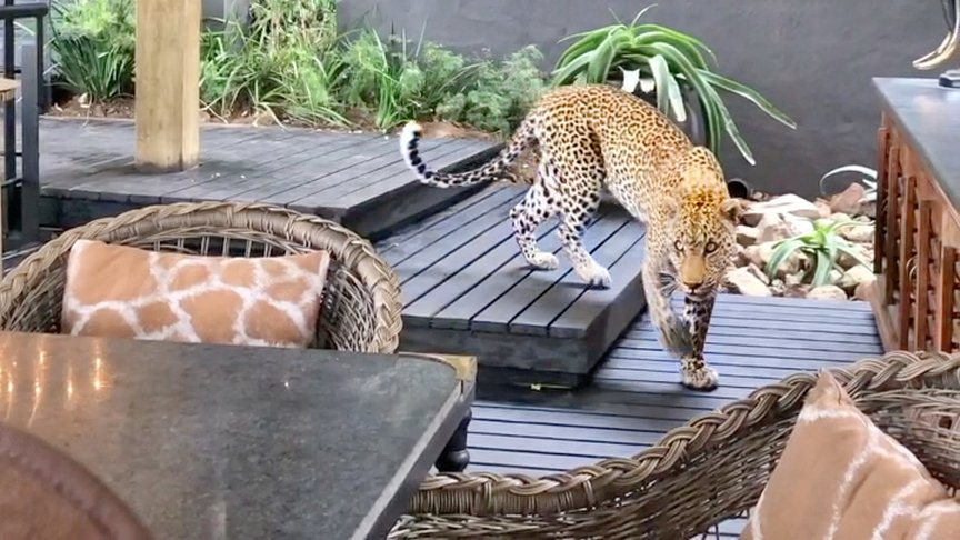 Guests At South African Lodge Get A Surprise Visit From A Leopard