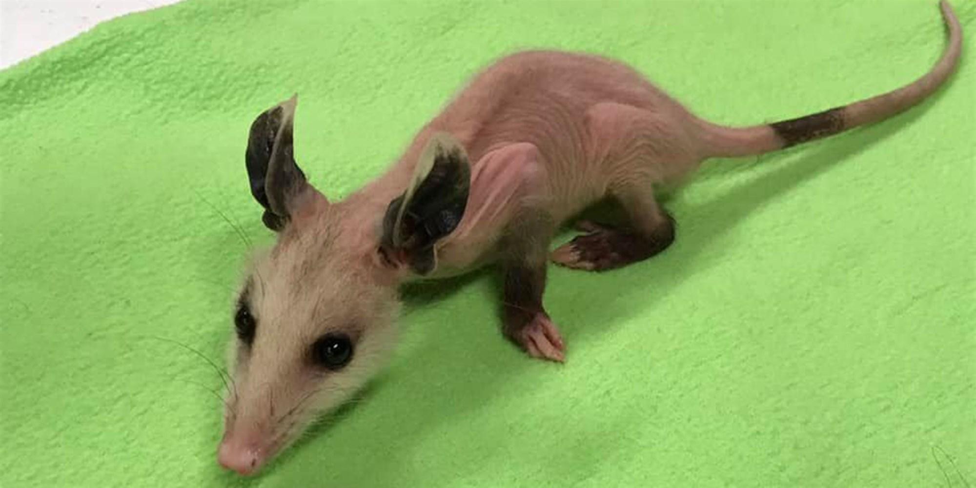Hairless Baby Opossum Gets A New Wardrobe