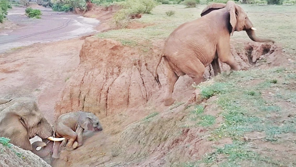 Stranded Baby Elephant Gets A Helping Hand From The Herd's Matriarch