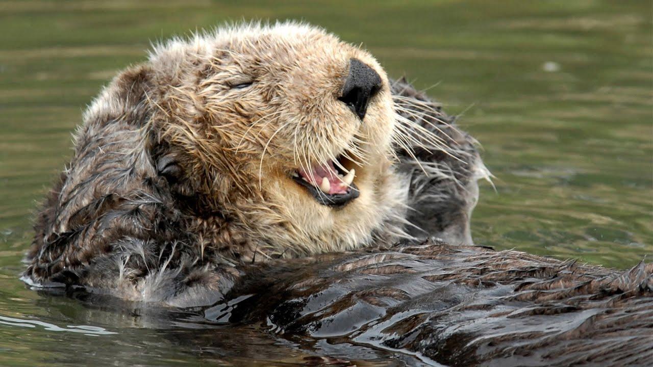 "Monterey Bay Aquarium's Resident Sea Otter Kit Invents ""The Shrimp Game"""