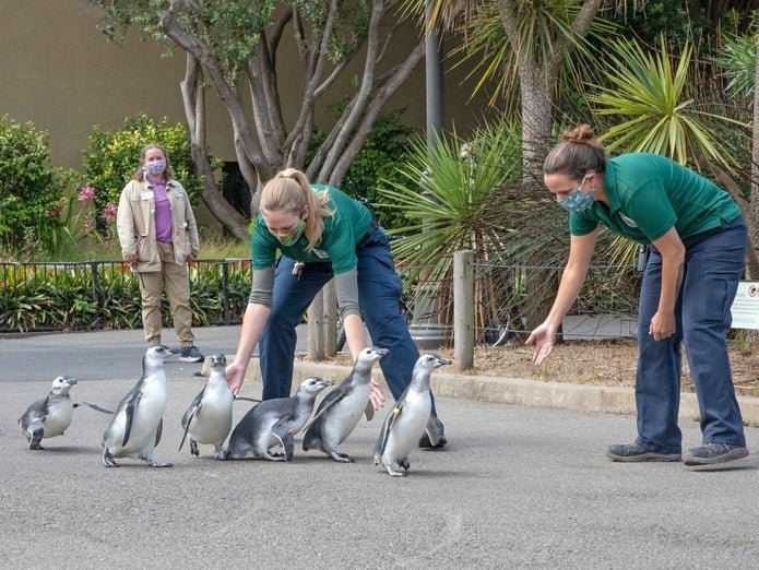 """San Francisco Zoo's Adorable Baby Penguins Graduate From """"Fish School"""""""