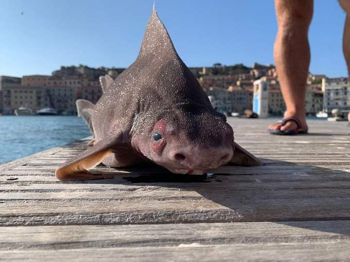 Pig-Faced Shark Found In The Mediterranean Sea Becomes An Overnight Sensation