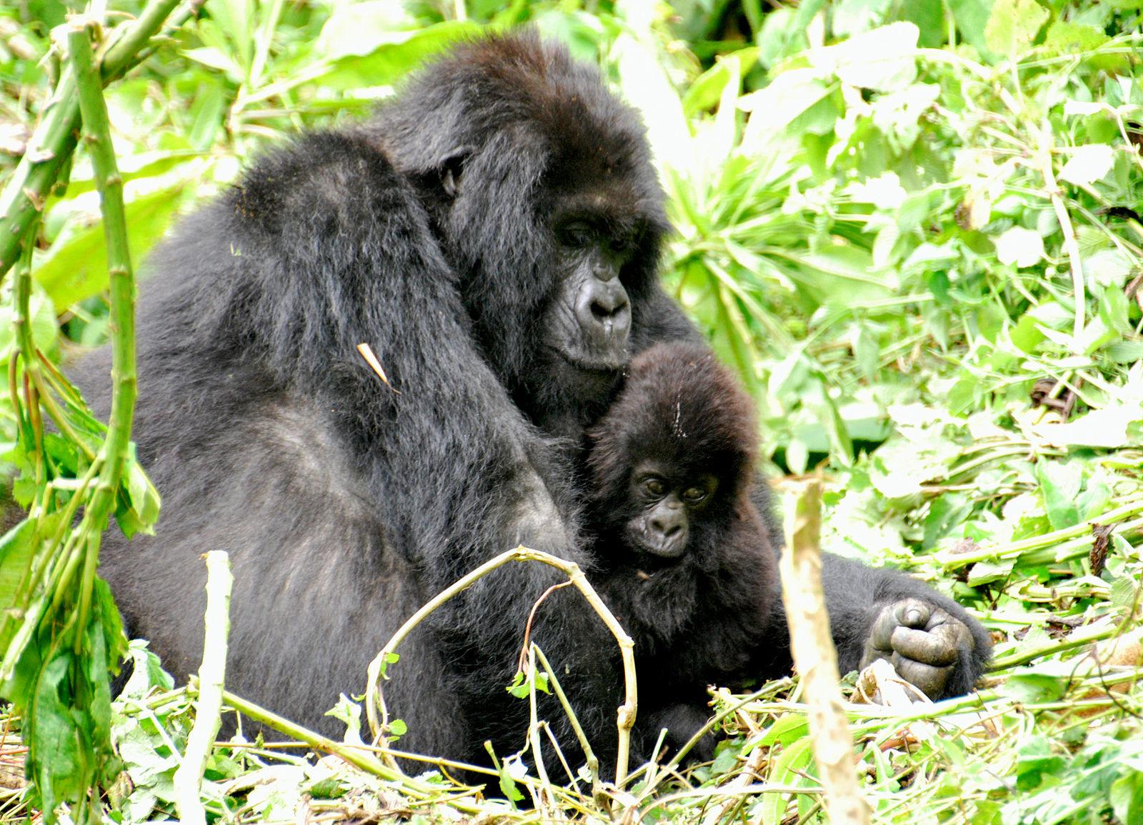 Heartwarming Video Captures Gorilla Helping Injured Bird