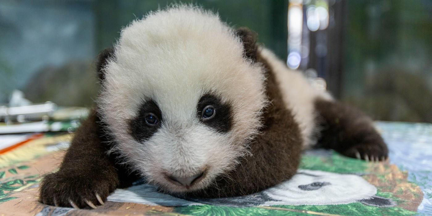 Help Smithsonian's National Zoo Name Its Adorable Giant Panda Cub