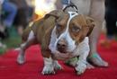 Thumb_2013-worlds-ugliest-dog-walle